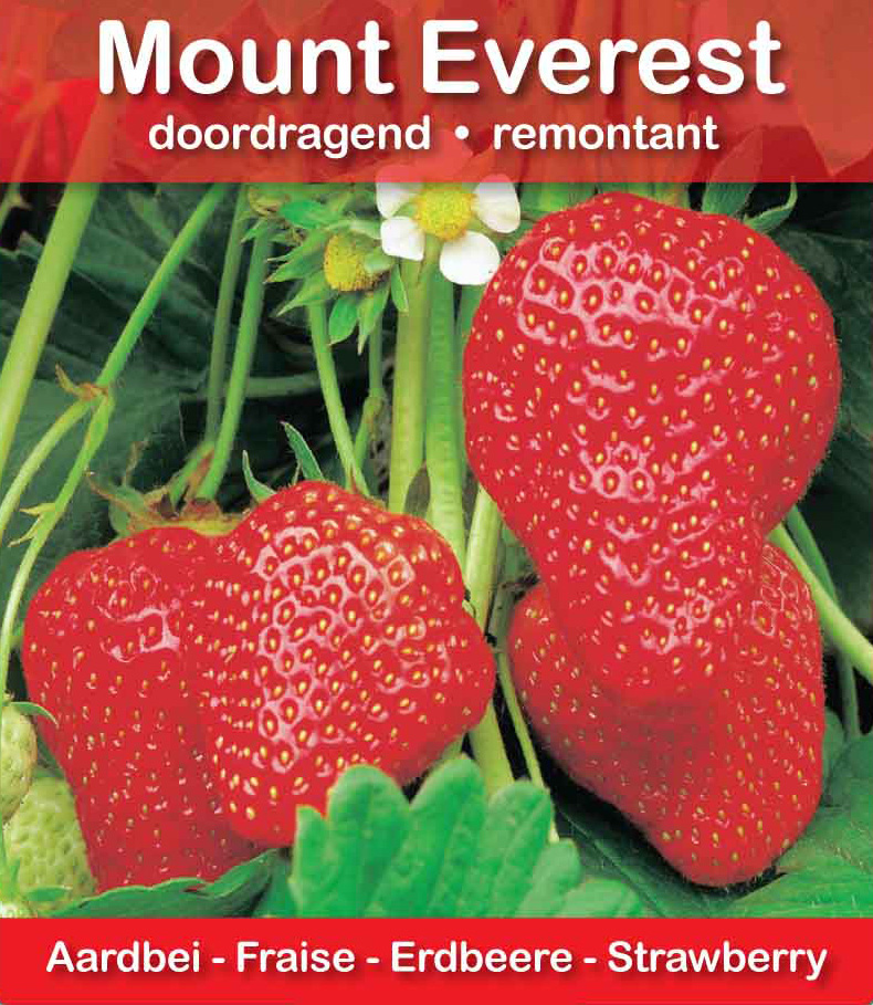 Fraise Mount Everest pot 10,5